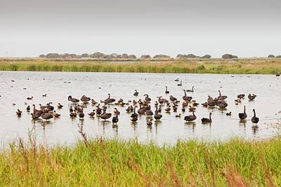 Black Swans Photograph - Black Swans And Australian Shelduck by Ashley Cooper