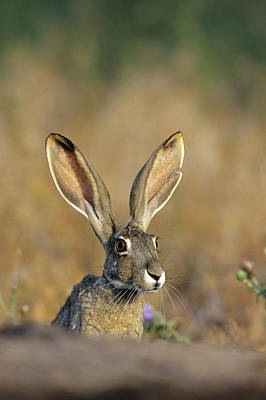 Richard Photograph - Black-tailed Jack Rabbit (lepus by Richard and Susan Day