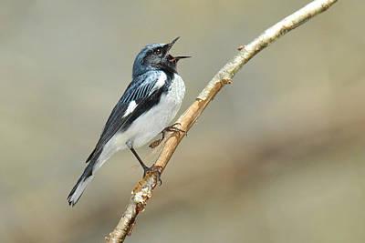 Black-throated Blue Sings Original by Alan Lenk