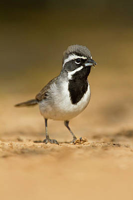Ditto Photograph - Black-throated Sparrow (amphispiza by Larry Ditto