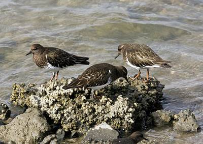 Sandpiper Photograph - Black Turnstones Feeding by Bob Gibbons