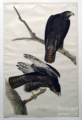 Heron Drawing - Black Warrior  by Celestial Images