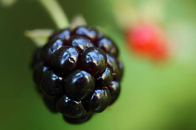 Wild Photograph - Blackberry On The Vine by Michael Eingle