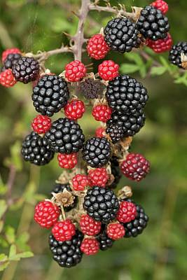 Angiosperms Photograph - Blackberry (rubus Fruticosus) In Fruit by Bob Gibbons