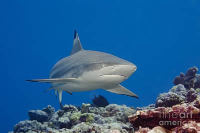 Blacktip Reef Shark _carcharhinus Melanopterus__ Yap, Micronesia Print by Dave Fleetham