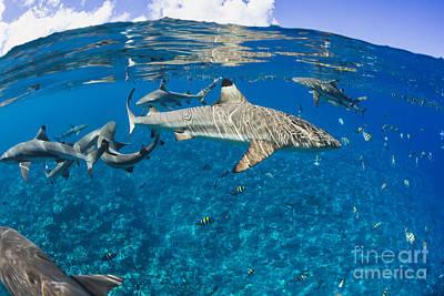 Blacktip Reef Sharks _carcharhinus Melanopterus_ Yap, Micronesia Print by Dave Fleetham
