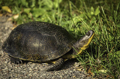 Blanding's Turtle Print by Thomas Young