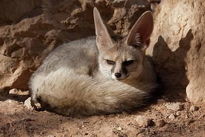 Blanford's Fox (vulpes Cana) Print by Photostock-israel