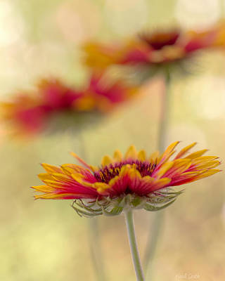 Blanket Flower Whimsy Print by Heidi Smith