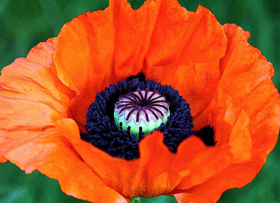 Blooming Digital Art - Blaze Orange Watercolor Poppy by Karon Melillo DeVega