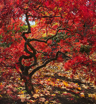 Red Leaves Photograph - Blazing Japanese Maple by Angie Vogel