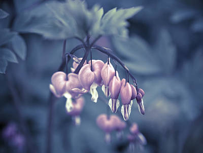 Blueish Photograph - Bleeding Heart Flower by Frank Tschakert