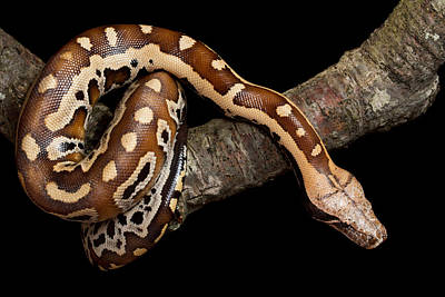 Burmese Python Photograph - Blood Python Python Brongersmai by David Kenny