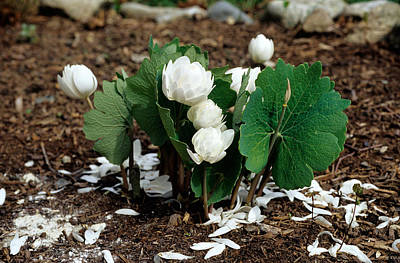 Bloodroot Photograph - Blood Root Sanguinaria Canadensis by Andrew J. Martinez