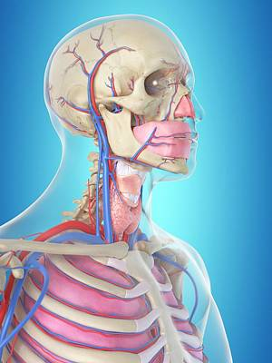 Human Internal Organ Photograph - Blood Vessels In Head by Sciepro