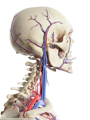 Human Head Photograph - Blood Vessels In The Head by Sciepro