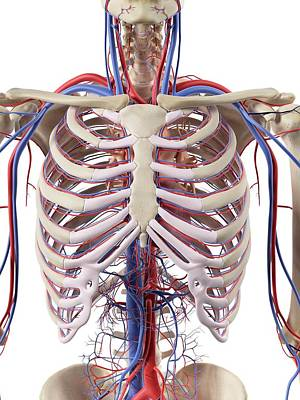 Blood Vessels In The Thorax Print by Sciepro