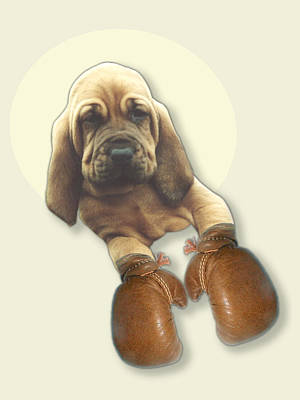 Bloodhound Boxer Print by Jimmy Collins