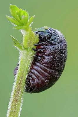 Bloody Nosed Beetle Print by Heath Mcdonald