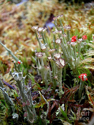 Blooming Lichen Print by Steven Valkenberg