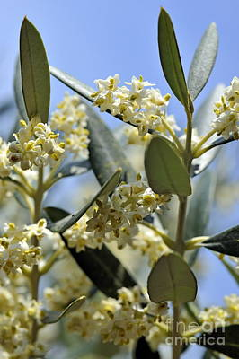 Blooming Olive Tree At Spring Print by Sami Sarkis