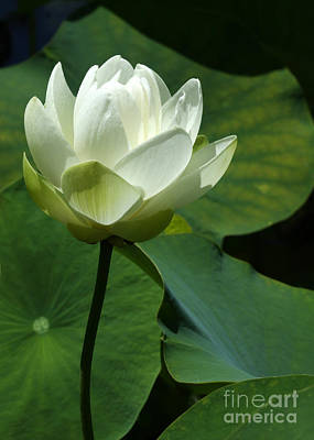 Blooming White Lotus Print by Sabrina L Ryan