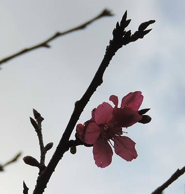 Blossom Against The Sky Print by Ganga Karmokar