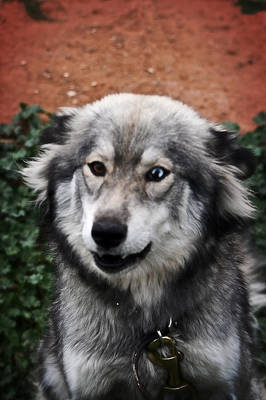 German Sheppard Mixed Media - Blue And Brown Eyed Husky by Doc Braham