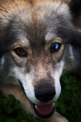 Blue And Brown Eyed Husky - Series II Print by Doc Braham