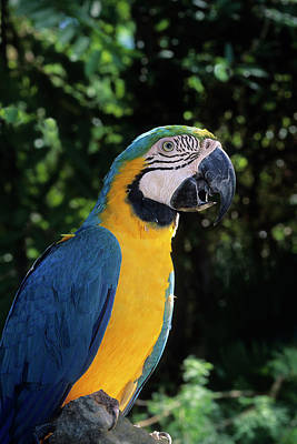 Blue-and-gold Macaw, A Talking Pet Bird Print by Thomas Wiewandt