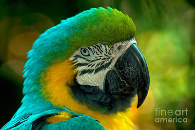 Blue And Gold Macaw Print by Mark Newman