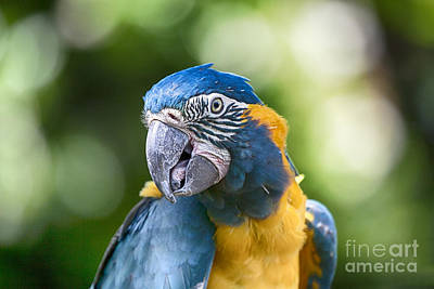 Macaw Photograph - Blue And Gold Macaw V3 by Douglas Barnard