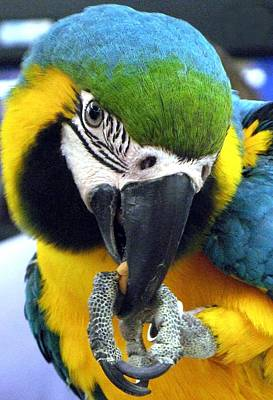 Blue And Gold Macaw With A Peanut Print by  Andrea Lazar