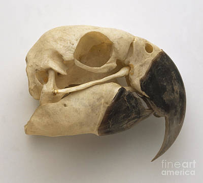 Blue And Yellow Macaw Skull Print by Dave King / Dorling Kindersley