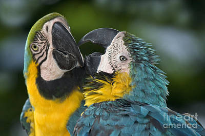 Blue And Yellow Macaws Print by Anthony Mercieca