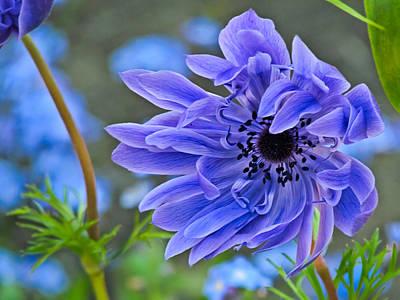 Flower Photograph - Blue Anemone Flower Blowing In The Wind by Eva Kondzialkiewicz