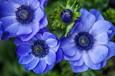 Holland Photograph - Blue Anemones. Flowers Of Holland by Jenny Rainbow