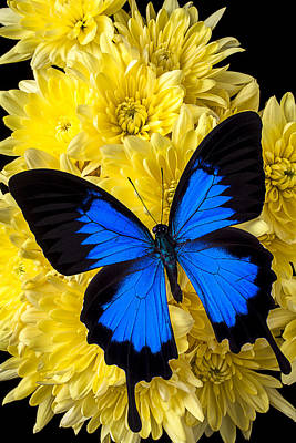 Blue Butterfly On Poms Print by Garry Gay