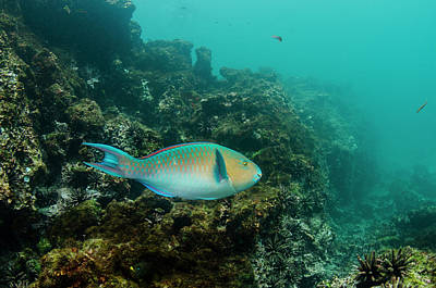 Blue-chin Parrotfish (scarus Ghobban Print by Pete Oxford