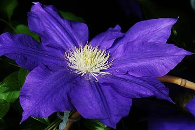 Amature Photograph - Blue Clematis by Bruce Bley