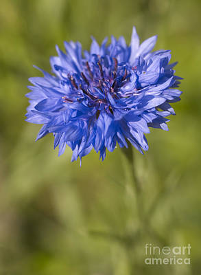 Genus Photograph - Blue Cornflower by Tony Cordoza