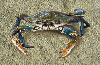 Blue Crab Confrontation Print by Sandi OReilly