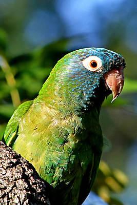 Blue-crowned Parakeet Print by Ira Runyan