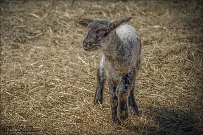 Lamb Photograph - Blue Eyed Lamb by LeeAnn McLaneGoetz McLaneGoetzStudioLLCcom