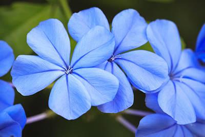 Study Photograph - Blue Flax by Adam Romanowicz