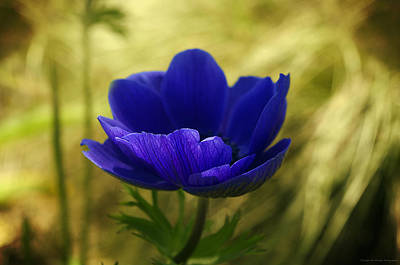 Blue Flower On Its Golden Bed Original by Philippe Meisburger