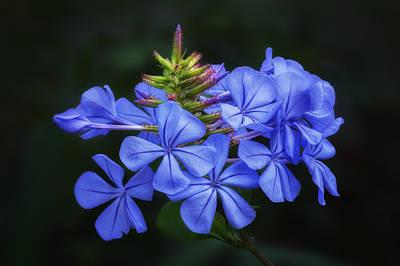 Blue Flowers - Cape Plumbago Print by Nikolyn McDonald