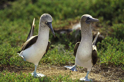 Wildlife Celebration Photograph - Blue-footed Booby Pair In Courtship by Tui De Roy