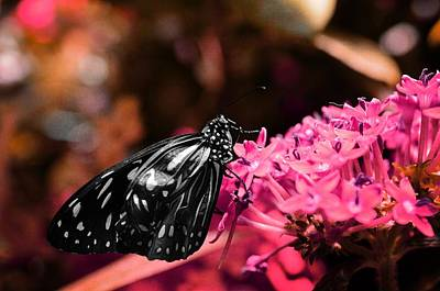 Home Decoration Photograph - Blue Glassy Tiger Butterfly by Marianna Mills