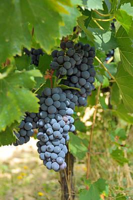 Blue Grapes Print by Paul Van Baardwijk